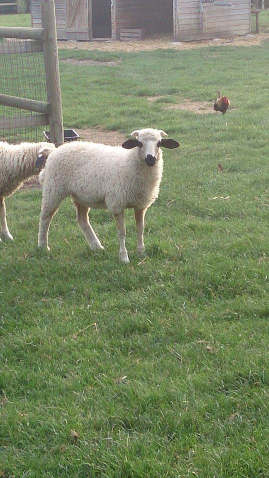 nouveaux moutons