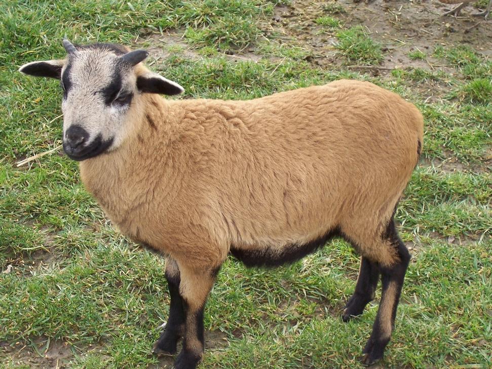 mouton cameroun