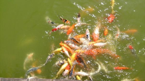 poissons affames